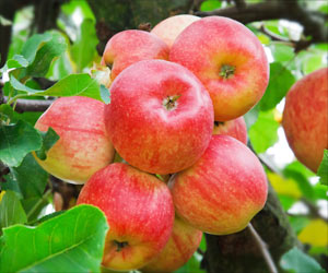 Green Compost Applications Effective In Organic Apple Orchards