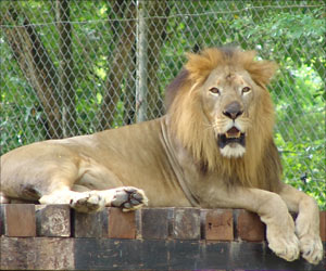 Number of Asiatic Lions Increases to 500 in Gujarat, Indian Forest Officials Delighted