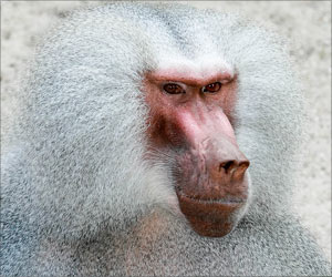 Female Baboons With Guy Pals Live Longer: Study