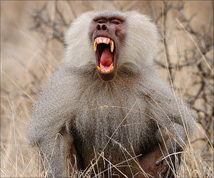 Male Baboons Chose Females Based on Their Menstrual Cycles After Child Delivery