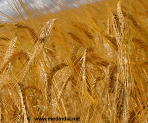 Research Offers New Hope for Powdery Mildew Resistant Barley