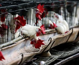 Bird Flu Alert In Amethi District, Uttar Pradesh