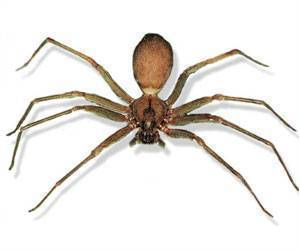 Spider Venom- The New Viagra That Can Cause 4-hour Erections