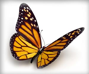 Migratory Monarch Butterflies Have Brain 'GPS' To Guide Them