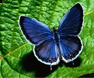 Sequencing of Internal Bacterial Makeup of Three Major Life Stages of a Butterfly Done