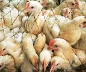 Thousands of Poultry Culled in South Korea Following Bird Flu Scare