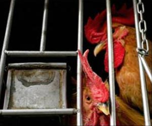 Bird Flu Deaths in China Reach 72
