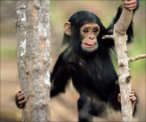 Chimps, When Faced With a Problem, Try to Find Logical Solutions And Do Not Conform to Group Behavior
