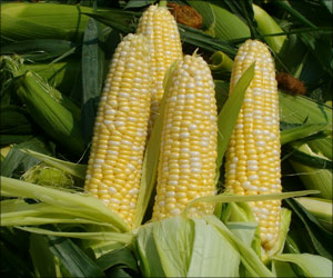 Enhancing Nutritional Value of Corn Could Benefit Millions