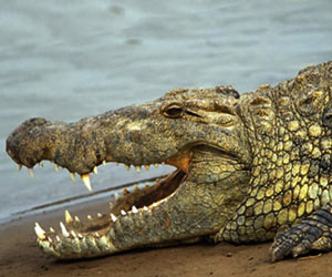 Crocodiles are Cleverer Than Previously Thought: University of Tennessee Study