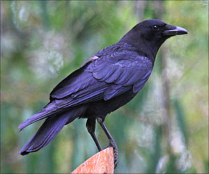 Crows may Not be as Bad as Previously Thought