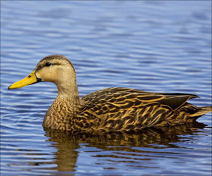 Bird Flu Testing for Ducks and Geese in Germany