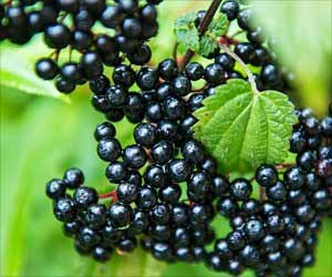 Eating Elderberries can Help Reduce Influenza Symptoms