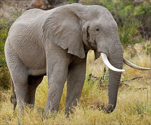 Elephants Found To Carry a Gene That Could Hold Key To Prevent Cancer In Humans
