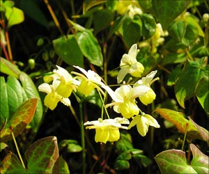 Reduction in Cardiovascular Diseases and Cancer Risks With Edible Chinese Flowers
