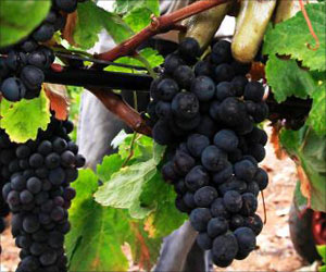 Compound in Grapes May Stabilize Biomarker in People With Alzheimer's for a Long-Term