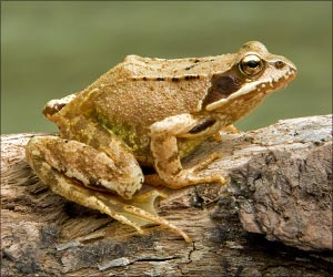 Amphibians Being Wiped Out by Emerging Viruses, Say Scientists