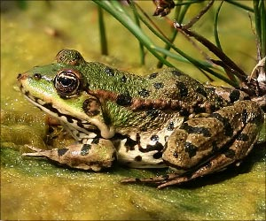 Taiwan's Frogs Use Drains to Amplify Mating Calls