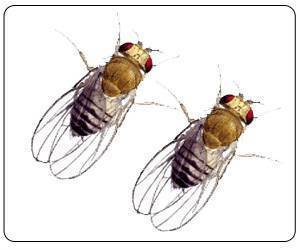 Male Fruit Flies Forced to Compete Live Shorter