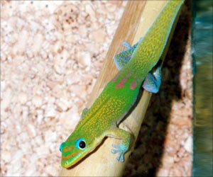 Study Says Geckos are Sticky Without Effort