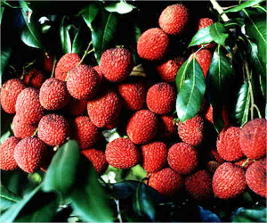 Gene Bank for Litchis Set Up in Bihar to Improve Their Quality Through Research
