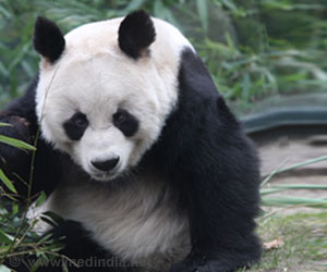 Pandas Thought to be Bamboo-Loving, also Found to Have a Sweet Tooth
