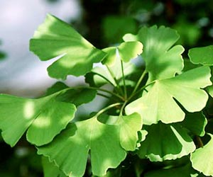 Study Reveals Benefits of Ginkgo Biloba