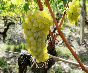 Wineries can Use Solid Grape Waste Left Over from Wine-Making to Prepare Biofuel