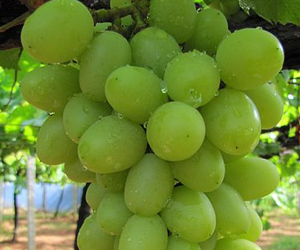 Genetics of Grape-Growing may be Unlocked Via a New Tool