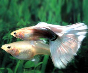 Guppy Fish may Now Fight the Spread of Dengue