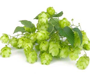 Hops Compounds Reduce Weight in Obese Diabetic Mice: Study