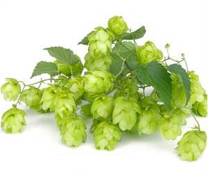 Flavonoid In Hops Lowers Cholesterol And Blood Sugar Levels