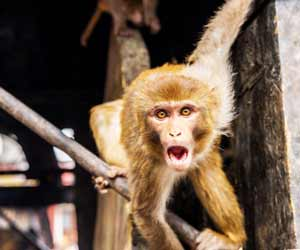 Human-Monkey Hybrids Created by Spanish Scientists