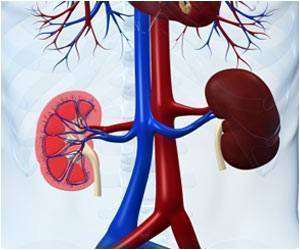 Researchers Develop New Model for Kidney Repair