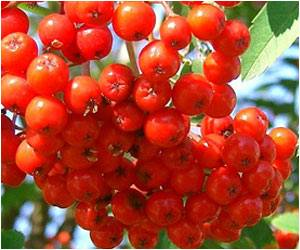 Health Benefits of Lingonberries