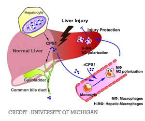 New Insights into Acute Liver Injury