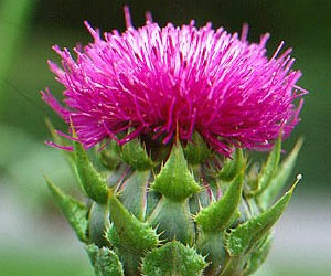 Milk Thistle Helps Fight Lung Cancer
