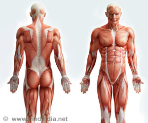 Study Explains How Human Muscles Form