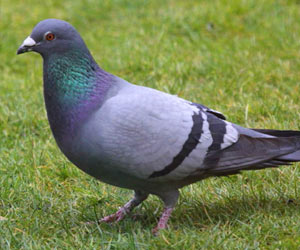 Urban Pigeons can be Used to Monitor Lead Pollution