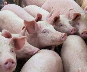 China Confirms New African Swine Fever Outbreaks