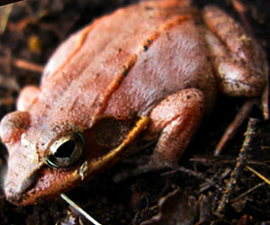 Deadly Fungus Fueling Frog Declines in the Andes: Study