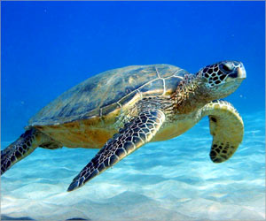Marine Turtles at Risk of Losing Their Population Due to Rise in Plastic Pollution