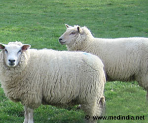 Domesticated Sheep Breeds and Climate Adaptation