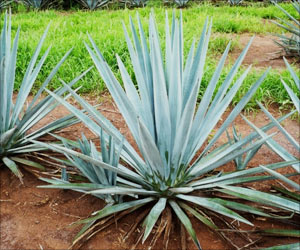 Tequila Plant Helps Reduce Blood Sugar, Weight