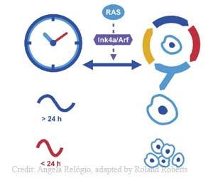 Circadian Clock Can Suppress Cancer