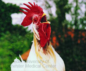 Rooster Testes Helps to Learn How The Body Combats Viruses