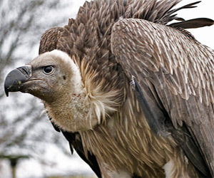 Poisoned Endangered Species of Vulture Saved from Death