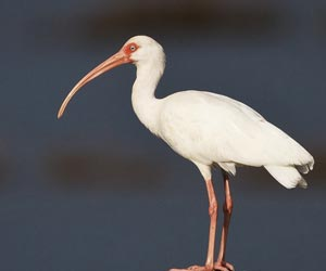 Feeding White Ibises in South Florida may Spread Diseases