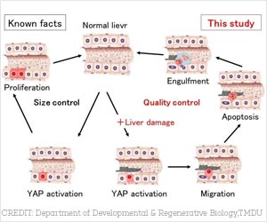 Role of YAP in Maintaining Liver Size and Function