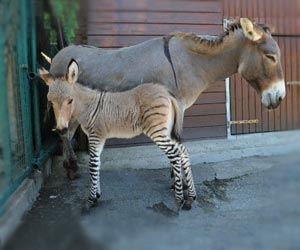 Zonkey, Hybrid of Zebra and Donkey Born in Italy